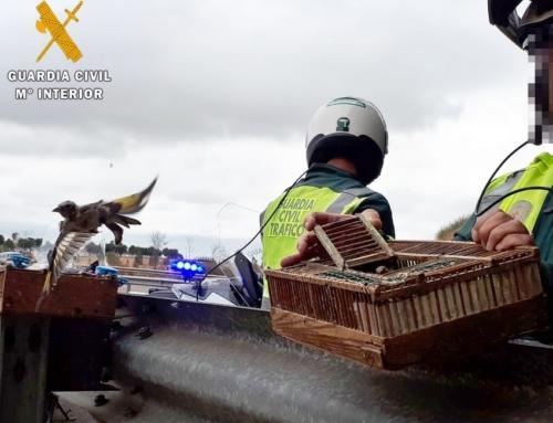 La Guardia Civil sorprendió a un vecino de Badajoz con 116 jilgueros capturados con reclamos digitales y artes prohibidas.