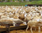 ovejas-manchegas