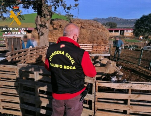 La Guardia Civil recupera un centenar de cabezas de ganado ovino sustraídas de una explotación ganadera de Valencia de las Torres